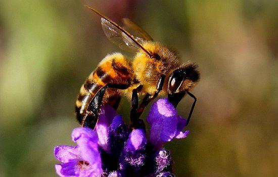 Kann es auch zu viele Bienen in der Stadt geben