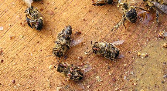 Bienen Gemüll