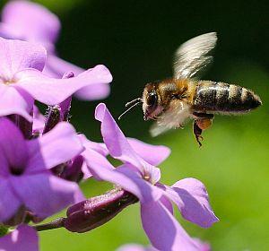 Bienenpflanzen Bienenblumen