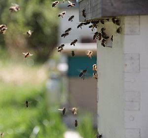 Einlogieren der Bienen
