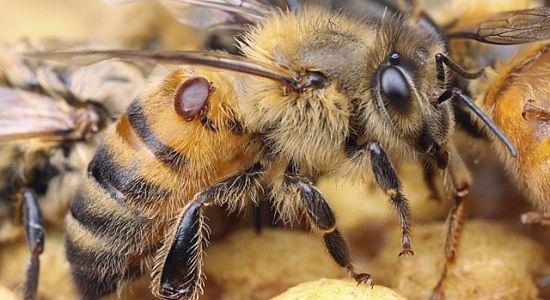 Varroabehandlung mit Ameisensäure